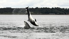 Wild and free bottlenose dolphins (niknok2007...) Tags: wild water wildlife dolphin breach beach bottlenose bottlenosedolphin blackisle morayfirth mammal chanonry chanonrypoint nature niknok2007 nicolaratcliffe nicolaratcliffephotography scotland sea summer 2017