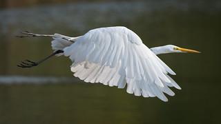 Egret - Flypast