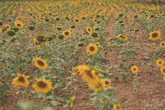 Endless sunflower fields. (Jordi Corbilla Photography) Tags: sunflower sunflowers fields girona nikon d750 f14 jordicorbilla jordicorbillaphotography