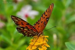 Gulf Fritillary Butterfly: Explore 08-29-17 (Kelley&Kelley) Tags: flower butterfly garden nature wildlife closeup macro orange nikon nikond90 florida insects specanimal