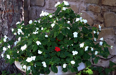 Vinca - Red among White-1 (Gail Frederick) Tags: plants vinca redflowers whiteflowers