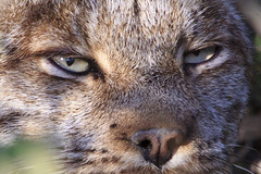 Look into my Eyes (Dan King Alaskan Photography) Tags: lynx eyes nose cat wildlife wild wranglesteliasnationalpark alaska canon50d sigma150500mm