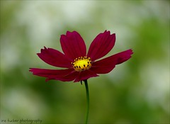 Did you ever stop to think.... (itucker, thanks for 4+ million views!) Tags: macro bokeh cosmos hbw dukegardens ngc