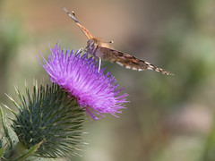 Butterfly Feast (Sweetolive999) Tags: butterfly insect bug animal flyinginsect papillon mariposa flower thistle nature macro closeup