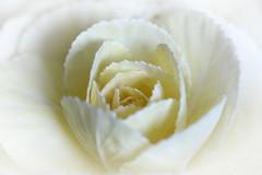 Not a Rose (PhotosbyDi) Tags: macromondays highkey kale vegetable stilllife food petals nikond600 tamronf2890mmmacrolens