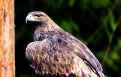 Golden Eagle at NW Trek (FlintWeiss) Tags: goldeneagle 60d washington fv bird raptor 2017 nwtrek canon fav ef100400f4556lisiiusm wa