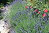 DSC_1378 Lavendel,Rosen, 7.6.2012 (MQ73) Tags: garten unsergarten 2012 baden lavendel hidcoteblue strauchrose strauchroseheidefeuer
