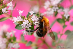 Hummel 26 (rgr_944) Tags: bienenhummelnwespen hummeln bumblebee bourdon insekten macro natur tiere outdoor canoneos60deos70deos80deos7dmk2eos5dmk4 rgr944
