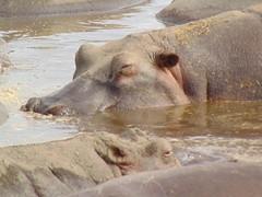 DSC00441 (francy_lioness) Tags: safari jeep animals animali ippopotami leone savana gnu elefante iena pumba tanzaniasafari ngorongorocratere gazzella antilope leonessa lioness facocero