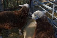 1434-02L (Lozarithm) Tags: devizes wilts pentax prime kx 35f28 hdpda35mmf28 sheep