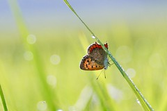 Small Copper in rice fields (joka2000) Tags: smallcopper butterfly ベニシジミ rice dof droplet