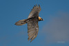 Gypaète barbu (Hubert Chiapusso) Tags: oiseau aussois animalsauvage gypaètebarbu rapace