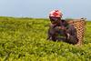 IMG_6375 (Sotto Scatto) Tags: malawi africa awt wild truck portrait ritratto donna sigaretta woman worker workers fumo smoke cigarette tè tea te piantagione raccolta piantagioni plantation estate raccolto