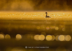 The Sunrise (T@hir'S Photography) Tags: sunrise nature outdoor travel bird wildlife bokeh defocused warm colors mist misty morning foggy fog animal animalthemes animalwildlife animalsinthewild aquatic autumn colorimage duck duckling goldcolored grebe horizontal lake nopeople oneanimal outdoors pakistan photography pond reflection river shadow small summer sunrisedawn sunset swimming water whitecolor nikon d500 golden sialkot