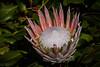 King Protea (Protea cynaroides) (Eden Fontes) Tags: cidadedocabo proteacynaroides áfricadosul capetown southafrica kingprotea kirstenboschnationalbotanicalgarden deby flores