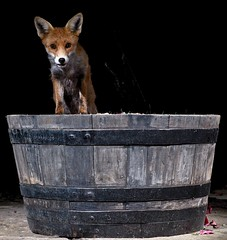 I'm the king of the castle (Paul_Collins53) Tags: king castle fox barrel wild animal night flashes fuji xt2