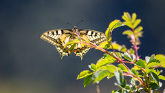 Machaon. (Rouvier Jean Pierre) Tags: