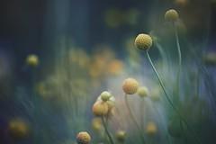 little miss sunshine (christian mu) Tags: flowers nature bokeh summer muenster münster germany botanicalgarden botanischergarten christianmu sonya7ii sony 9028g 9028 90mm macro schlossgarten