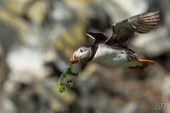 Macareux moine (Tifaeris) Tags: alcidés atlanticpuffin charadriiformes fraterculaarctica hornøya macareuxmoine norvège varanger bird oiseau