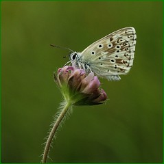 Male Chalkhill Blue III - on field scabious (glostopcat) Tags: chalkhillbluebutterfly butterfly insect invertebrate summer july glos wildflower fieldscabious butterflyconservation prestburyhillnaturereserve