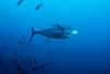 Yellowfin Tuna!