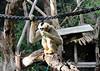 2017 Melbourne Zoo: White Cheeked Gibbon #2 (dominotic) Tags: 2017 melbournezoo royalmelbournezoologicalgardens animals victoria australia primate whitecheekedgibbon