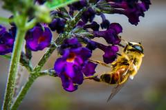 [2017-08-26] 04.jpg (S.P. Zweekhorst) Tags: nikon d5200 sigma 18200mm 2017 color insect kleur nikond5200 sigma18200mm
