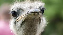 Struthio camelus (struthionidae) (ipomar47) Tags: parquedelanaturalezacabarceno parquenaturalezacabarceno cantabria españa spain zoo zoologico parquezoologico cabarceno zoologia zoology naturaleza nature ave bird struthio struthiocamelus struthionidae avestruz ostrich commonostrich ruby10 ruby15 smileonsaturday eyecatcher