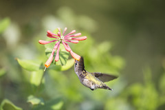 Graceful~ (Connie Etter Photography) Tags: 2017 migration hummingbird bird honeysuckle flower flight eat indiana canon 1dx