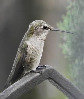 Anna's Hummingbird 9-4-17 Lincoln Neighborhood- Vancouver- Washington (Explored)