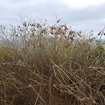 Crotalaria grahamiana (Cho Cho) thumbnail