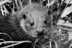 YOUNG OTTER (merseymouse) Tags: monochrome blackandwhite otters mammals animals rivers
