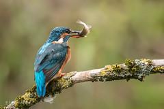 Kingfisher (Alcedo atthis) 750_0890.jpg (Mobile Lynn) Tags: birds kingfisher nature wild aves bird chordata coraciiformes fauna wildlife otterbourne england unitedkingdom gb coth specanimal ngc coth5 sunrays5 npc