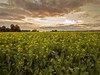Rapeseed field outside Dorking (missfisher') Tags: rapeseed field surrey dorking olympus omdem10 samyang12mm