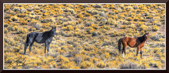 Mustangs_7804d (bjarne.winkler) Tags: day10 photo foto safari wild mustangs nevada