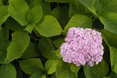 Big-leaved Hydrangea (Vic Harris) Tags: bigleavedhydrangea hydrangea flower flora garden green leaf nikond100 60mm 28d micro