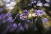 dream  with me ... (mariola aga) Tags: chicagobotanicgarden glencoe garden flowers closeup bokeh light manual lensbaby composerprosweet35 art thegalaxy
