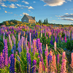Bright Fields Of Lupins thumbnail