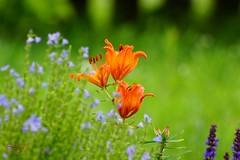 Flowers in the meadow (Jurek.P) Tags: flowers meadow kwiaty łąka kolory colours jurekp sonya77