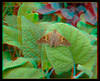 Longwood Gardens - Epargyreus clarus - Silver-spotted Skipper 2 - Anaglyph 3D (DarkOnus) Tags: anaglyph pennsylvania buckscounty panasonic lumix dmcfz35 3d stereogram stereography stereo darkonus closeup macro insect longwood gardens epargyreus clarus silverspotted skipper butterfly