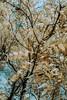 Black Walnut trees II (citrusjig) Tags: fuji xe1 infrared irconverted 590nm zenitar16mmf28