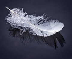 feather_white_blue_floating_120614 (F J R) Tags: challengeyouwinner cyunanimous