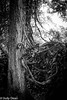 Tangled roots (judy dean) Tags: judydean 2017 angleseyabbey roots tangled wisteria blackandwhite