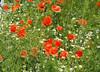 Majowe Fotki Mai 2017 (arjuna_zbycho) Tags: mak maki makpolny czerwonemaki kwiatypolne mohn mohnblumen coquelicots pavots popyflower popy klatschmohn papaverrhoeas mohnblume klatschrose cornpoppy cornrose fieldpoppy flanderspoppy redpoppy redweed közönségespipacs vetésipipacs papaverocomune rosolaccio gatunekleczniczy heilpflanze hausmittel kwiat blume flower fleur popies fleurs natur flora