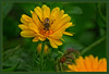 busy Bee.... (scorpion (13)) Tags: marigold blossom with bee nature garden plant frame color creative insect summer sun photoart