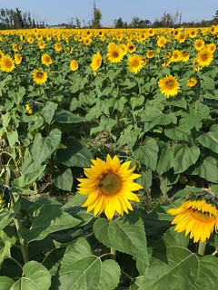 the sunflower field by our house is fully bloomed just in time for Childhood Cancer Awareness Month ~ stop by to visit! 🌻 There are plenty of beautiful spots for quiet meditation, awe and wonder.🌻