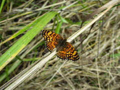 Phyciodes mylitta (_mo.foto_) Tags: butterfly insect grass orange pnw nature outdoor outside forest