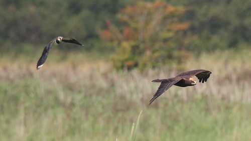 Follow that Marsh Harrier