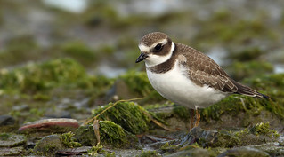 Pluvier semipalmé \ Semipalmated Plover