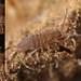 Entomobrya schoetti (marie1179) Tags: collembola hoppstjärt springtail springstaart springschwänze entomobryomorpha entomobryidae entomobryaschoetti